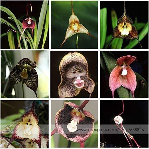 100 Samen mit 9 Sorten Affengesicht Orchidee Dracula Simia Selten Monkey Face Gemischt Rar Selten