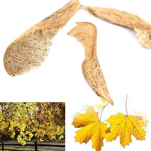 livraison-gratuite-7-12-jours-10pcs-norvege-graines-de-feuille-derable-dor-des-graines-de-plantes-de