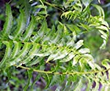 Anisogonium esculentum - Gemüse Farn - 100 Samen