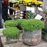 ShopMeeko Seeds:Imported Real,5pcs/Lot Ornamental Mint Mini Mint Potted Plants Home Garden