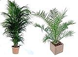 2er Set Große Zimmerpalmen eine Phoenix Canariensis ca. 100cm und eine Howea Kentia Palme ca. 110cm Zimmerpflanzen Immergrün
