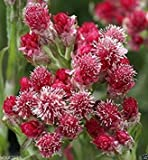 Shoppy Star: 100 Antennaria dioica