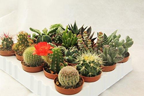PIANTE GRASSE VERE RARE 20 PIANTE PICCOLE VASO 5,5 Produzione Viggiano Cactus SET CON SPINE CACTUS SUCCULENTE MINI SET