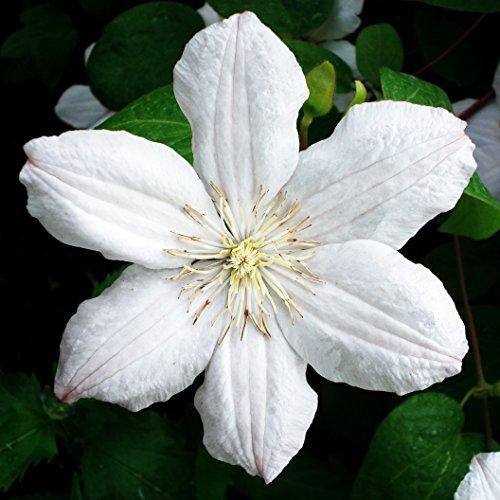 Dominik Blumen und Pflanzen, Waldrebe, Clematis 'Mme le Coultre', 1 Pflanze im 2 Liter Topf, plus 1...