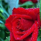 Fastdirect 20 Graines de Rosier Semences Rosiers de Poète Polyanthas Parfumé Bricolage Jardinage Bonsaï Plantes Vivaces, Multi-couleur Disponibles (Type 7)