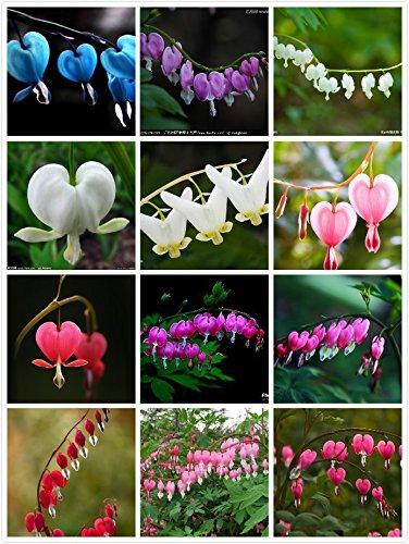 100 Dicentra Spectabilis Samen Bleeding Heart klassischen Bauerngarten Pflanze, herzförmige Blüten im Frühjahr, ferny Laub Mehrfarbiges