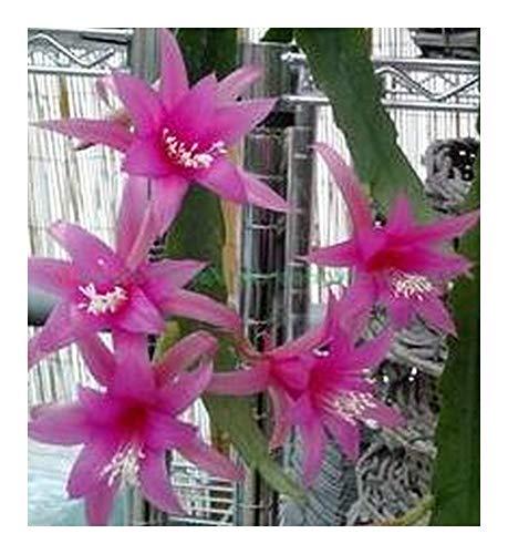 Epiphyllum Delicate Jewels - Orchidée cactus Delicate Jewels - 5 graines