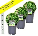 2 Buchsbaum Kugel 30cm + gratis Dünger. Zertifiziert mit dem TOPBUXUS ECO-PLANT-Label. Gezüchtet ohne Gift.
