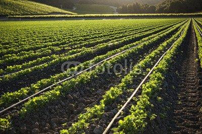 "Alu-Dibond-Bild 120 x 80 cm: ""Morning farmland, crop growing in rows"", Bild auf Alu-Dibond"
