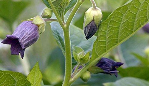 Asklepios-seeds® - 500 Samen Tollkirsche Atropa belladonna Hexenkraut