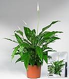 BALDUR-Garten Spathiphyllum im 60 cm hoch,1 Pflanze