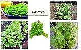 Plantree Hierba de especia verde de cilantro sobre 50 semillas