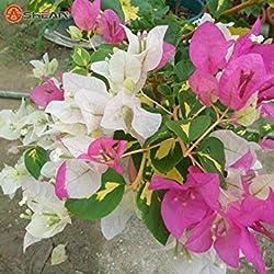 Neue Echt Blooming seltenen blauen Pflanzen Bougainvillea spectabilis Willd Bonsai-Pflanzen-Samen 100 Partikel / lot