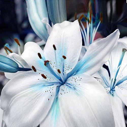 Yukio Samenhaus - 60 Stück duftend Lilien hellblau/Rot Blumenzwiebeln Lilium Madonnenlilie winterhart mehrjährig für Garten (Hellblau)