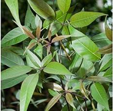Patpert Agrotech Kali Nirgundi Plant with Large Aromatic Shrub and Quadrangular, Densely Whitish, Tomentose Branchlets for Folk Medicine