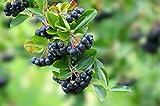 3er Packung Aronia-Beere Kapseln, schwarze Apfelbeere, Aronia melanocarpa - 180 x 400mg Vegi-Kapseln