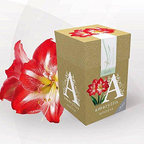 Shop Meeko Amaryllis Minerva - 1 graine de fleur