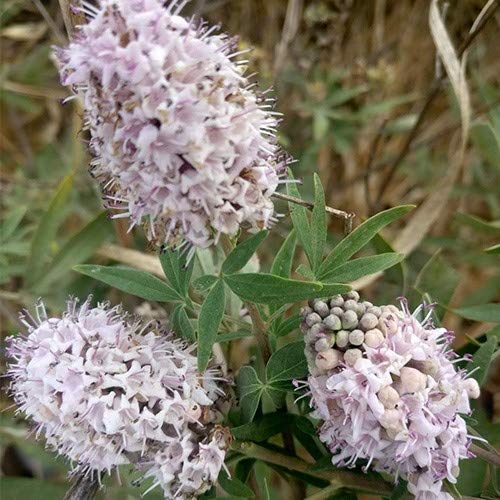 Plant World Seeds - Vitex Agnus Castus 'Pink Icing' Seeds