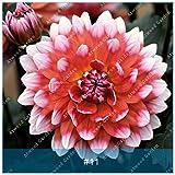 IDEA HIGH Seeds-ZLKING 2pcs Bunte Dahlia Birnen Blume Seltene Schöne Mehrjährige Dahlie Blumenzwiebeln Bonsai Pflanze DIY Hochzeit Hausgarten: 10