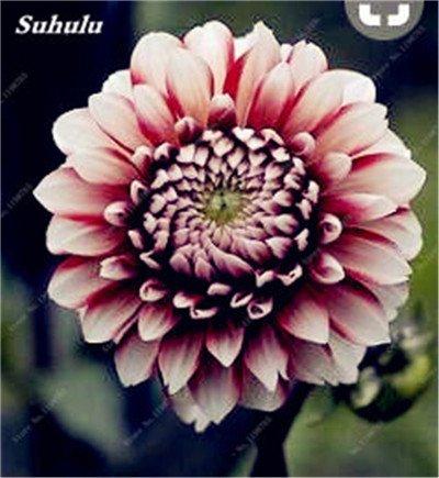 100 Pcs charme chinois Dahlia fleur Graines Bonsai Fleurs Dahlia lumineux mixte chinois Pivoine jardin Décor Plantes 10 Potted
