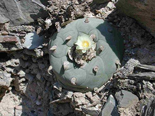Asklepios-seeds® 50 semillas de lophophora diffusa, Peyote de Querétaro, Peyote queretano