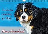 Seebärchen entdecken die Welt - Berner Sennenhunde (Wandkalender 2018 DIN A4 quer): Berner Sennenhunde-Welpen entdecken ihre Welt an der Ostseküste. ... [Kalender] [Apr 07, 2017] Starick, Sigrid
