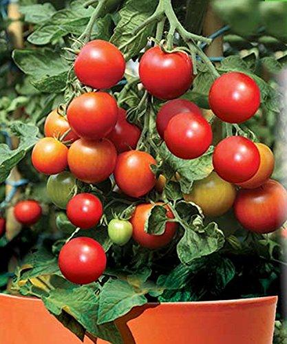 Graines de légumes Rouge Tomate cerise Lapochka culture biologique Heirloom NON-OGM