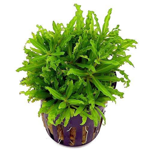 Live Süßwasser-Aquarium Fisch Tank Wasser-Pflanzen für Verkauf–Tropische Pflanzen - Pflanzen Süßwasser-aquarium