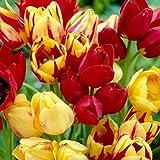 8Mutliflowering mixtes bulbes de tulipes en rouge et jaune - Nice, Graisse ampoules.