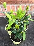 Gewürz Lorbeer Laurus nobilis Nachhaltige Kräuter Pflanzen 1stk.