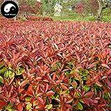 Vistaric Kaufen Sie Photinia Serrulata Tree Seeds 200pcs Pflanze Red Robin für Heather Shi Nan