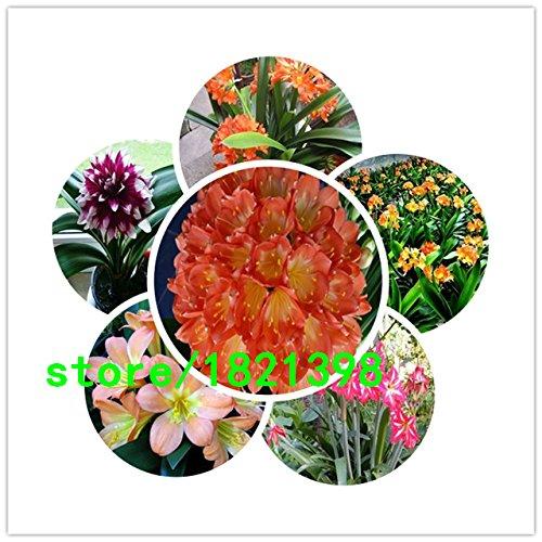 graines de Clivia, graines de Clivia bon marché, Clivia graines en pot, Bonsai balcon fleur - 500 pcs / sac