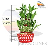 #10: SMZ Brandlines - 3 Layer Lucky Bamboo plant with big round glass vase (free 2packets of seven color crystal jelly bowls included) Indoor plant