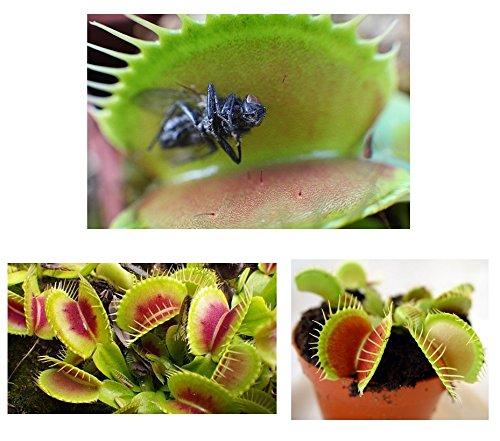 Lot 20 graines de Dionée Attrape Mouche Plante Carnivore Insectes Mouches