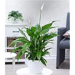 BALDUR-Garten Spathiphyllum im 60 cm hoch, 1 Pflanze Einblatt blühende Zimmerpflanze