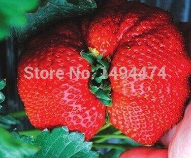 200 pcs beaucoup rare ananas de style fraise graines de fruits avec 30pcs japonais graines de pin comme cadeau brillant