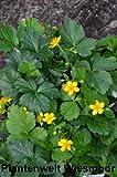 Waldsteinie Waldsteinia ternata 15 - 20 cm breit mit Topfballen Bestellmenge 50 Pflanzen