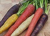 CAROTA RAINBOW MIX 400 SEMI Miscela Multicolore Carote ROSSA VIOLA GIALLA BIANCA carote colorate