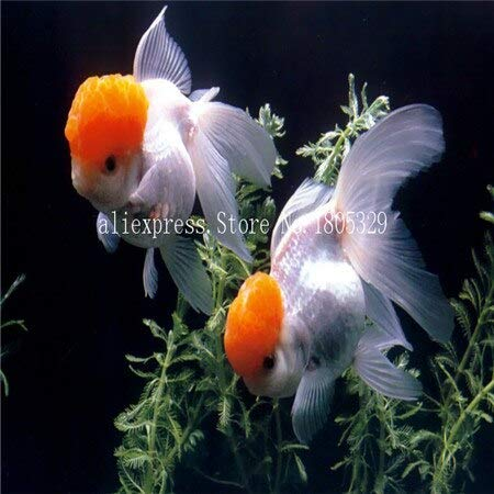 FARMERLY Samen Paket: Seedss Aquarium Aquarium Dekoration s Samen Seedss Samen 100seeds / bag: 2 (Fish Tank Dekorationen Billig)