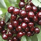 "Sweet Cherry ""Stella"" Bare Root fruit Tree 1.4M tall"