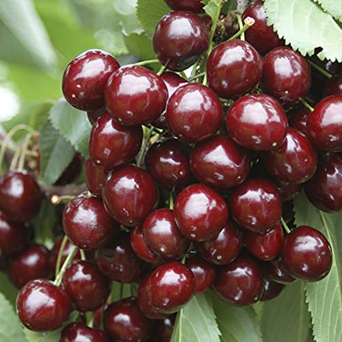 sweet-cherry-stella-bare-root-tree-14m