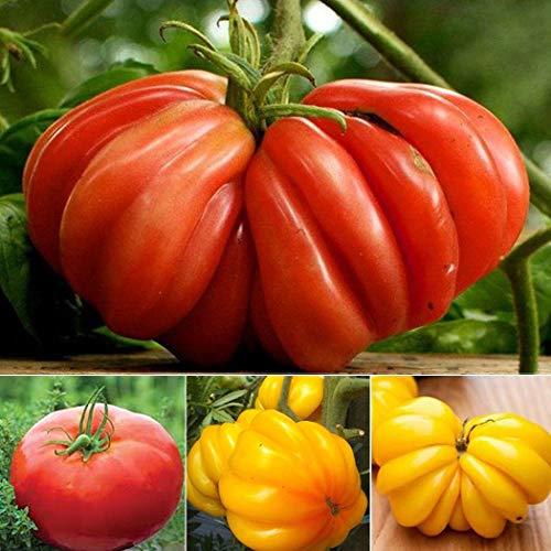 Soteer Garten - 100 Stück Bio Riesen Tomatensamen Mix, Ochsenherz-Tomaten Fleischtomate 1-2 Pfund pro Tomate Gemüse Obst Samen ertragreich mehrjährig winterhart für Garten Balkon/Terrasse