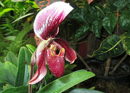 Paphiopedilum superbiens from the Orchid family . (English Edition) (Paphiopedilum Orchid)