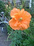 Portal Cool 1 Medium Doppel orange Mohnpflanze, (Orange Federn) Hardy Perennial
