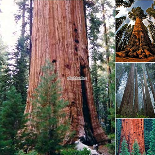Portal Cool Seeds Package: Paquete / 50 Piezas: 20/50 / 100X Sequoia Gigante Sequoiadendron Giganteum Sierra Red Tree Seeds T