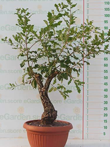 pianta vera di bonsai di quercia roverella (quercus pubescens)