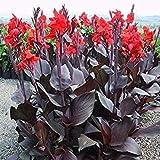 10Tropical Bronze Scarlet (Canna Samen) Reichhaltige Blumen/bronze-burgundy Blattwerk