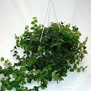 Vivai Le Georgiche Ficus Repens