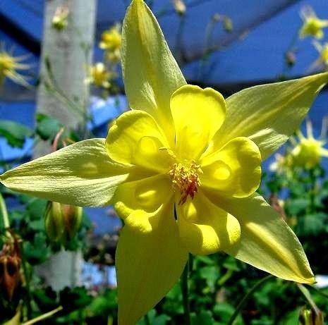 Samen Golden Columbine - Akelei petelotii