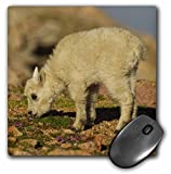 3dRose Mountain Goat Wildlife Mt Evans Colorado USA Us06 Bjy0021 Jaynes Gallery Mouse